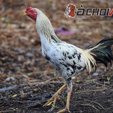 Bạn đã biết giống gà chọi Thái Lan khét tiếng chưa ?