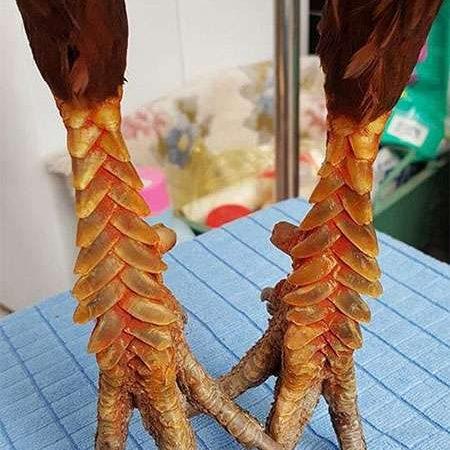 Giống gà vảy rồng – Gà quý Việt ít phổ biến