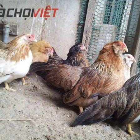 Bạn đã biết kỹ thuật nuôi giống gà tre tốt nhất hiện nay chưa ?